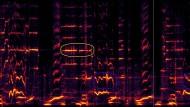 Spektrogrammvideo eines Buckelwals