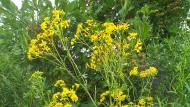 Ist nicht nur für Tiere gefährlich: Das gelb blühende Jakobs-Kreuzkraut.
