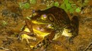 Eingewanderter nordamerikanischer Ochsenfrosch frisst einen einheimischen brasilianischen Frosch.