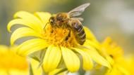 Von der Biene für den Menschen – Propolis.