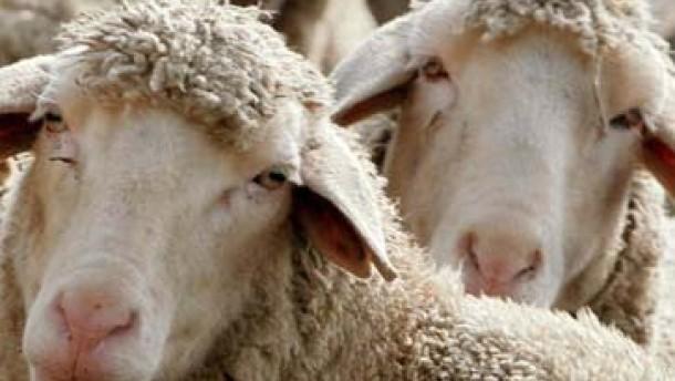 Was am Schaf noch zu verbessern wäre