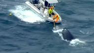 Retter befreien Wal-Baby aus Hainetz