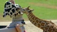Giraffenbaby wird mit Fläschchen gefüttert