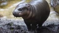 Zwergflusspferd-Baby entdeckt das Schwimmen