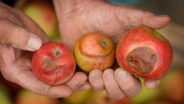 Feigen aus Hessen und Äpfel mit Sonnenbrand