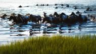 Wildpferde schwimmen zur Versteigerung