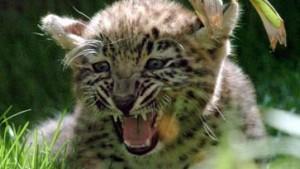Geld für Europas letzte Leoparden