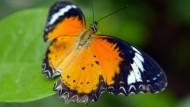 Exotische Schmetterlinge in Kambodscha