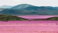 Atacamawüste blüht auf
