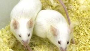 Von Mäusen und Marathonläufen