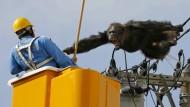 Affe turnt auf Stromleitungen