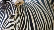 Klassisches Rätsel mit mathematischer Lösung: Wie kommt das Zebra zu seinen Streifen?