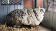 Schaf mit extrem viel Wolle wird endlich geschoren