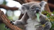 Düstere Aussichten für Australiens Koalas