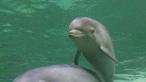 Der Baiji-Delphin soll wieder auftauchen
