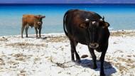 Freilaufende Nutztiere spalten Korsika