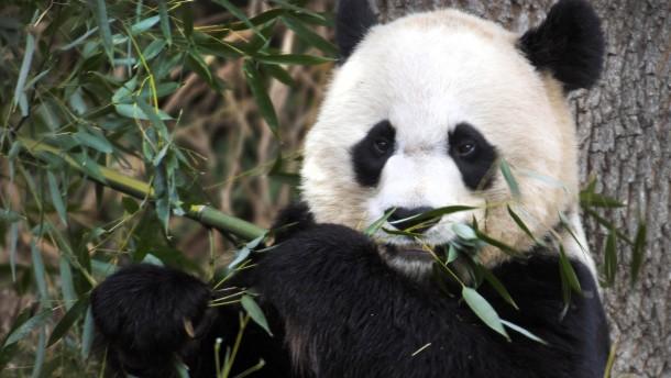 Chinas Panda-Diplomatie