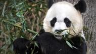 Zoo feiert Geburt von Panda-Zwillingen