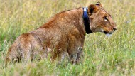 GPS-Bänder für Kenias Löwen