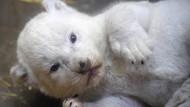 Drei seltene weiße Löwen in französischem Zoo geboren