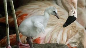 Flamingos geköpft