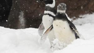 Die Magellan-Pinguine ziehen um