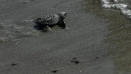 Wasserschildkröten-Babys in die Freiheit entlassen