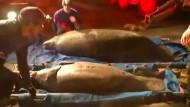 Zehn Seekühe in Kanalisation verirrt