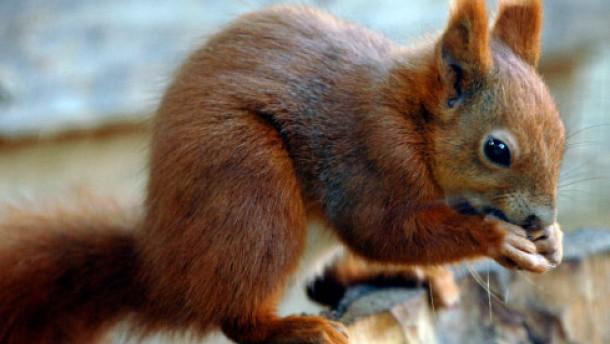 Eichhörnchen beißt drei Menschen
