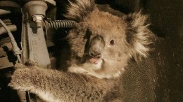 "Koala reist ""per Anhalter"" durch Australien"