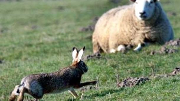 Herkunft des Hasenpest-Erregers in Südhessen weiter unklar