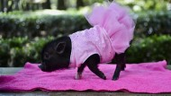 Trend-Haustier Mini-Schwein