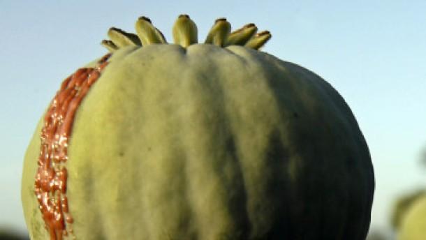 Opiumproduktion wieder angestiegen