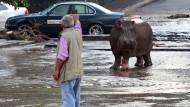 Löwe und Flusspferd spazieren durch die Straßen