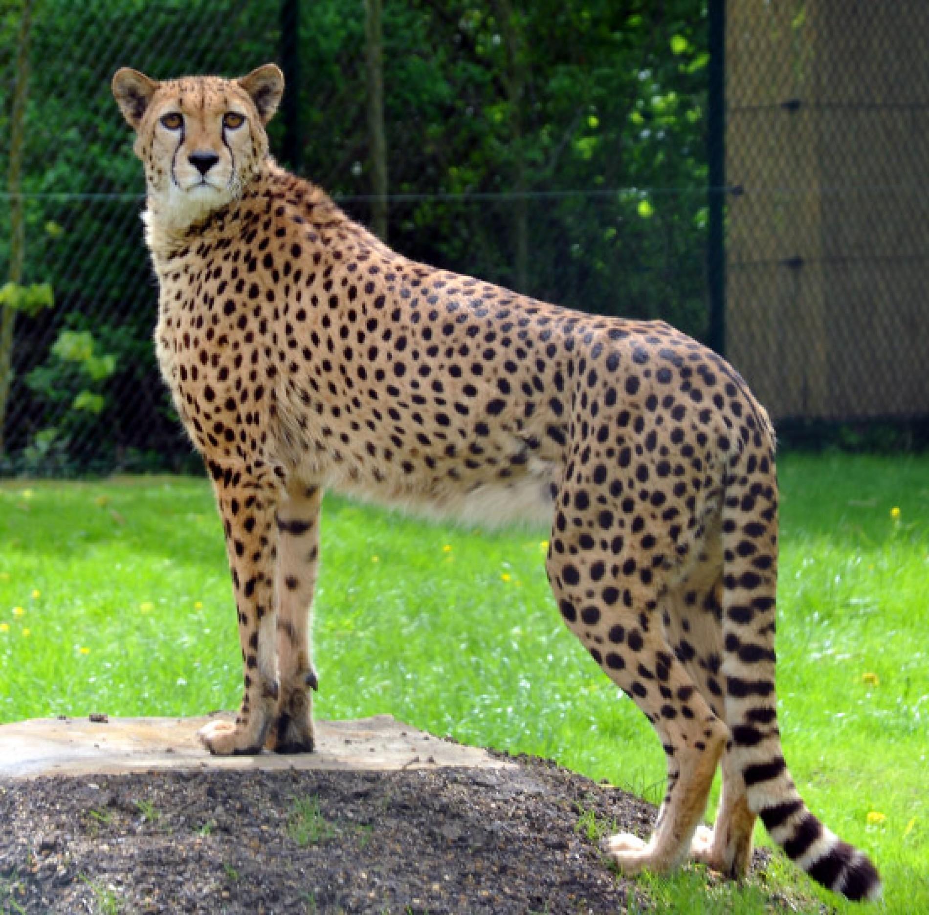 Opel Zoo Die schnellsten Jäger im Taunus   Region und Hessen   FAZ