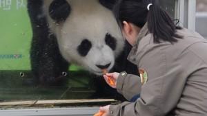 Chinesische Pandas kommen in koreanischen Zoo