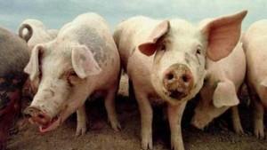 Dioxinhaltiges Tierfutter auch in Deutschland