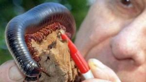 Stummelfüßler mit Gemeinsinn