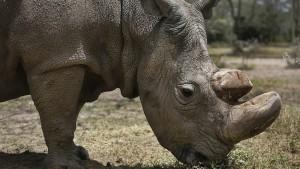 Wie deutsche Forscher das Nördliche Breitmaulnashorn retten wollen