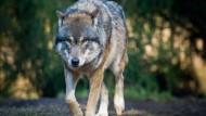 Wolf in den Niederlanden gesichtet