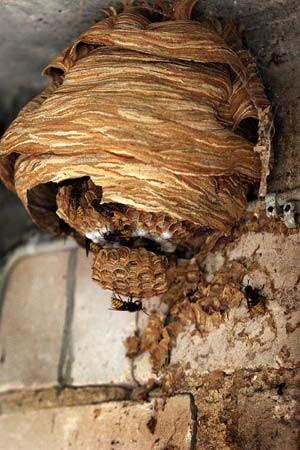 insekten ein herz f r wespen region faz. Black Bedroom Furniture Sets. Home Design Ideas