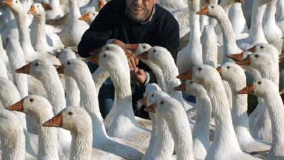 Geflügelzüchtern bereitet die Vogelgrippe wohl zurecht Kopfzerbrechen