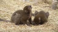 Doppelter Lemuren-Nachwuchs im Kölner Zoo