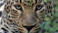 Leopard greift indisches Dorf an