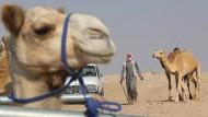 Entspannung für Kamele in Katar