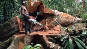 Im Hoheitsgebiet der Holzmafia
