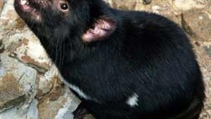 Rätsel um Gesichtstumore bei Tasmanischen Teufeln gelöst