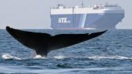 Auf der Suche nach den Blauwalen