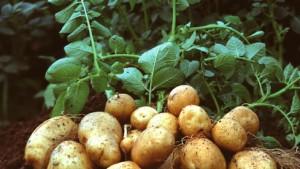 EU berät länger über BASF-Kartoffel