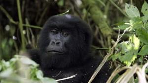 Düstere Zukunft für die Affen